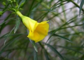 Oleander surowcem do produkcji farb?