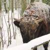 Posadzka Sika w obiekcie Rezerwatu Żubrów