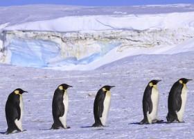 Pingwiny zdradzają sekrety walki z lodem
