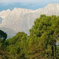 Sosna Pinus roxburghii. Fot. Wikimedia Commons