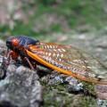 skrzydła cykad samooczyszczające się powierzchnie