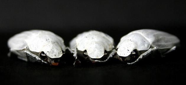 azjatycki żuk biel tytanowa