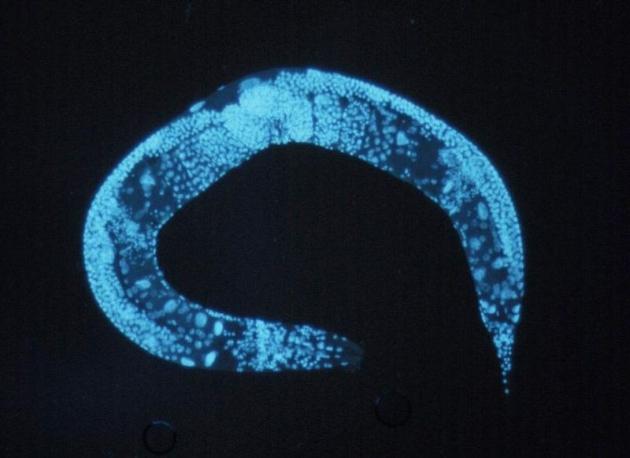 nicienie toksyczność nanocząstek