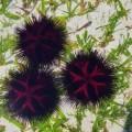 nanocynk nanomiedź nanocząstki jeżowce