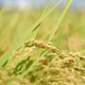 krzem ryż
