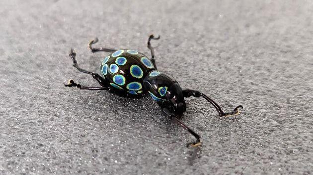 owady Filipiny kolor
