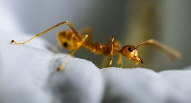 farba mrówki